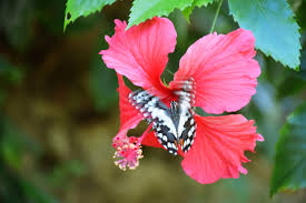 foap com butterfly and flower butterfly and hibiscus flower