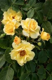 Garden Park Family Practice - scent from above climbing rose rosa x u0027scent from above
