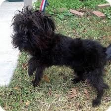 affenpinscher texas bijou adoption pending adopted puppy little rock ar