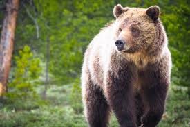 Bears Montana Hunting And Fishing - game and fish commission approves grizzly bear hunt buckrail