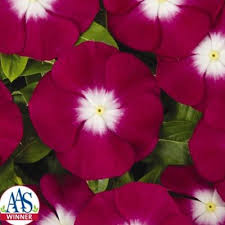 vinca flower vinca pacifica xp burgundy halo harris seeds