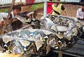 film ular phyton 7 jenis ular terbesar di dunia yang pernah ditemukan nettik