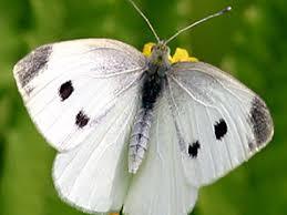 cabbage white pieris rapae linnaeus 1758 butterflies and