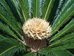 sago palms sago palm trees ornamental palm willis orchards