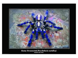 gooty saphire ornamental tarantula if there is a more beat flickr