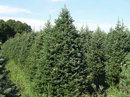 balsam fir christmas tree balsam fir blisters savatree