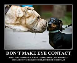 Eye Contact Meme - don t make eye contact the funniest dog memes