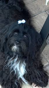 affenpinscher india 32 best havanese images on pinterest havanese puppies animals