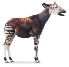 okapi facts for kids what is an okapi dk find out