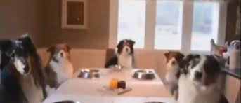 dogs at dinner table family of dogs prays together before eating d the daily caller