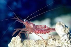 ornamental marine shrimps aqt info