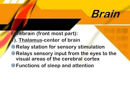 Thalamus Part Of The Brain Neurons Chapter Ppt Video Online Download