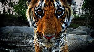 one tiger in the jungle