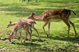deer family free stock photo domain pictures