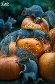 squirrel becomes a halloween monster as it tries to steal a pumpkin