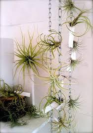 hanging air plant air plant display hanging air plant decor idea chain air plant