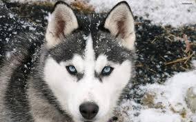 dachshund husky mix williams