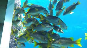 atlantis hotel aquarium in nassau bahamas excursion youtube