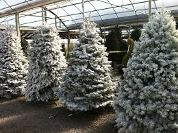 flocked christmas trees there are more christmas trees with snow