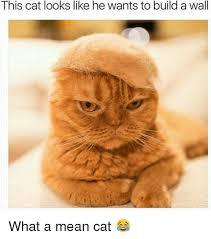 Mean Cat Memes - this cat looks like he wants to build a wall what a mean cat