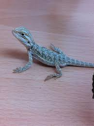 midlands baby sandfire bearded dragons sale reptile forums