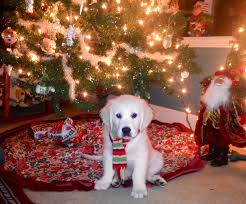 100 dogs and christmas trees dog santa hat stock photos