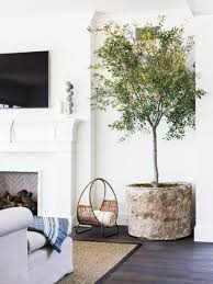 living room trees the plant of 2017 indoor olive tree thou swell