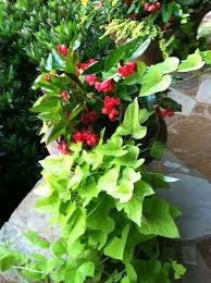 155 begonias images angel wings houseplants