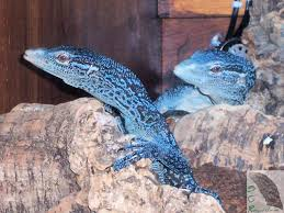 growing more butterflies in south east queensland gecko hills to blue tree monitor lizard available blue tree monitor lizards