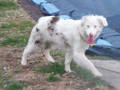double j australian shepherds adopt colby u0026 jack on an orange and australian shepherd dogs