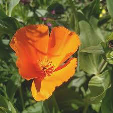 life as a human u2013 the lovely california poppy