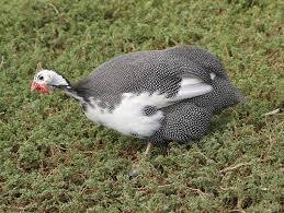 list of birds of puerto rico wikipedia the free encyclopedia