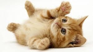 hukum memandulkan kucing hukum memandulkan kucing peliharaan darul ulum ihya ulumuddin