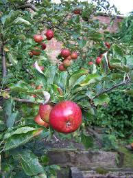 Blackmoor Fruit Trees - apples sharon hockenhull