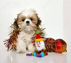 puppy a shih tzu puppy and ornaments