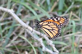 monarch butterfly on a branch foosland sportsmens