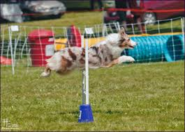afghan hound agility ctc aussies ctc maureen o u0027haras highland fling