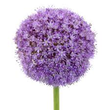allium flowers globe allium flowers