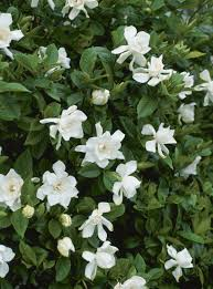 Gardenia Topiary Shrubs For Part Shade And Full Shade Areas