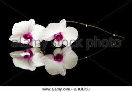 beautiful white dendrobium orchid with dark purple centers in