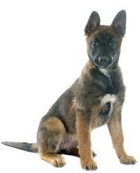 belgian malinois competition belgian malinois puppies breed information u0026 puppies for sale