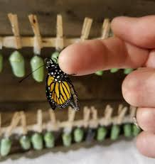 tagged and tracked monarch butterflies set out from connecticut