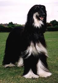 afghan hound collie mix view topic abandoned abandoned dog rp accepting forever