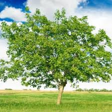 walnut trees from stark bro s walnut trees for sale