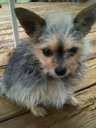 chorkie haircut styles 28 best chorkies images on pinterest yorkie yorkshire terriers