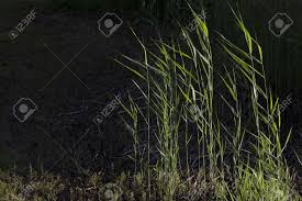 reed is common name for several tall grass like plants of