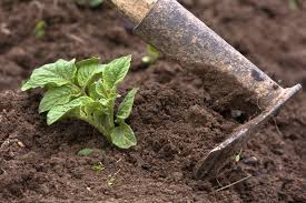 potato bush care learn about blue potato bush growing conditions