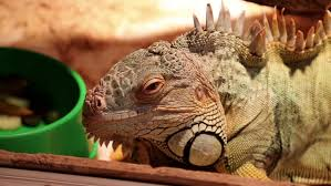 big green iguana in terrarium stock footage video 13073843