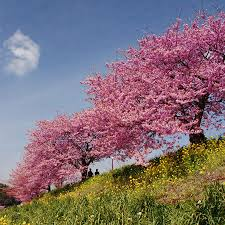 flowering cherry trees fast growing trees