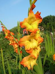 Irises How To Plant Grow by How To Grow Gladiolus Growing And Caring For Gladiolus